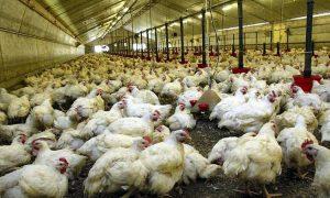 Le secteur avicole représente un chiffre d'affaires annuel de plus de 250 milliards de francs CFA en moyenne