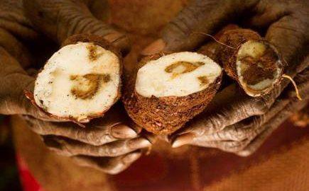 Agriculture-Striure-de-manioc