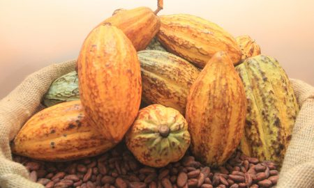 CACAO-agriculture