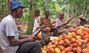Cacao - Tonkpi - Cavally - agriculture - économie - Conseil Café-Cacao - JNCC