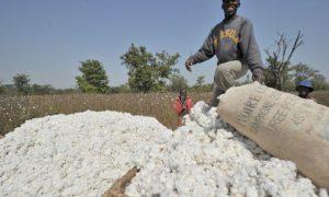 coton - Union Européenne - 3C-CI - centre de classement du coton - agriculture