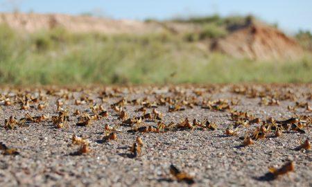 criquet pèlerin - insecte - Mauritanie