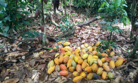 cacao-déforestation-Afrique