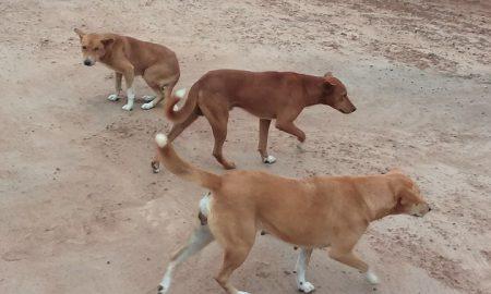 chiens-rages-INHP