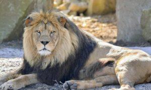 lion-insolite-animal-fauve-félin-environnement-nature