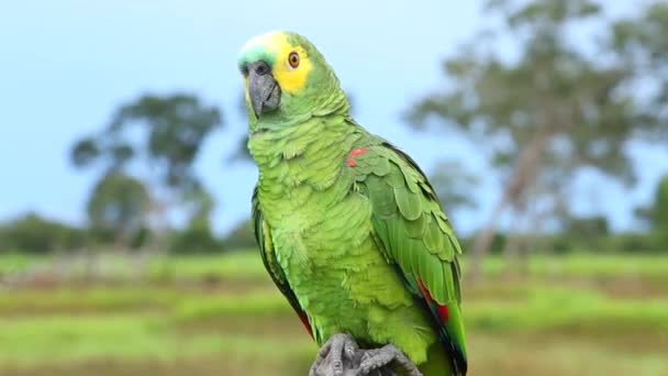 perroquet-depositphotos_74135139-stock-video-brazilian-parrot-on-brazil