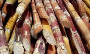 industrie-agriculture-production-de-sucre-sucaf-sucrivoire-economie