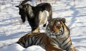 insolite-tigre-timour-bouc-amour-zoo