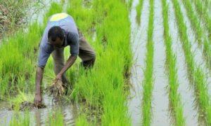culture_du_riz-agriculture-sndr-soderiz