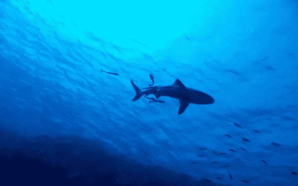 Un Australien sauve, à coups de poing, sa femme mordue par un requin