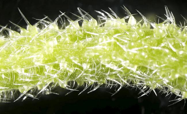 En Australie, des plantes contiennent du venin ressemblant à celui des scorpions